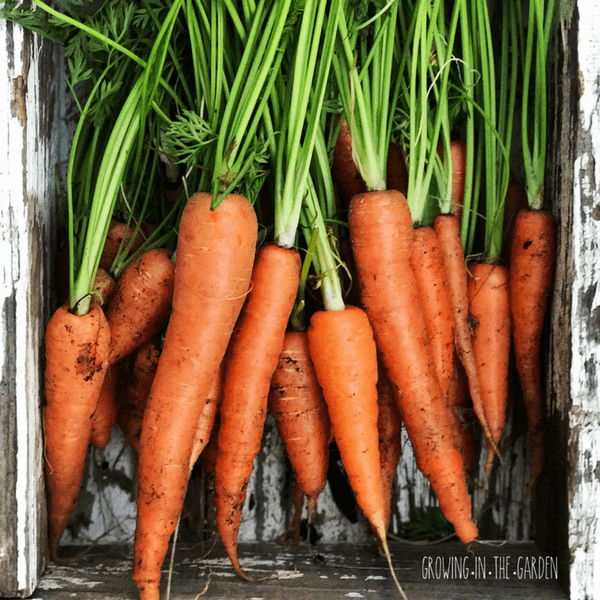 Five Tips For Growing Carrots #growingcarrots #howtogrowcarrots #organicgarden #carrots #howto #gardening #quicktips #organicgardening