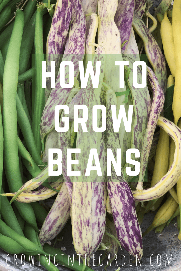 How to grow beans in Arizona #gardening #howtogrowbeans #garden