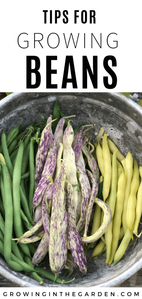 Learn how to grow beans in your garden. #howtogrowbeans#beans#gardening#organicgardening#growbeans#howtogarden
