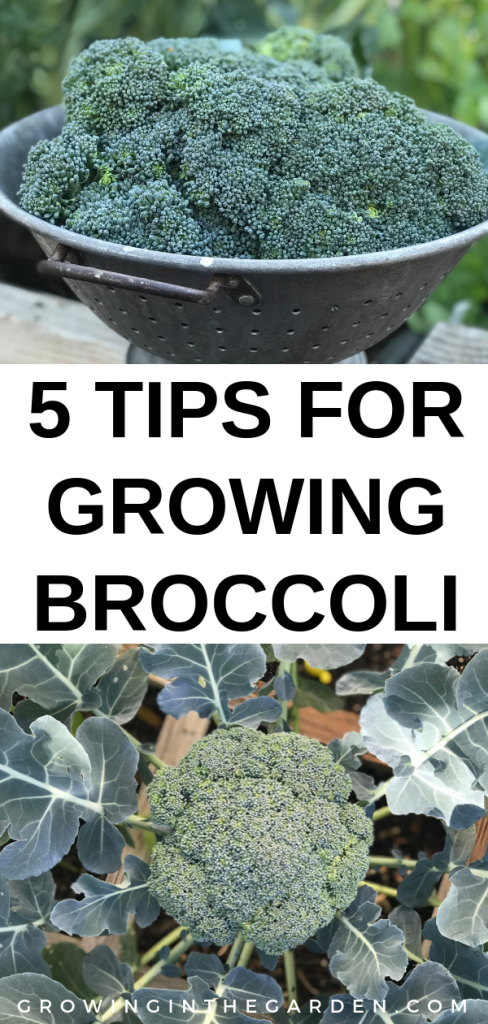 5 Tips for Growing Broccoli