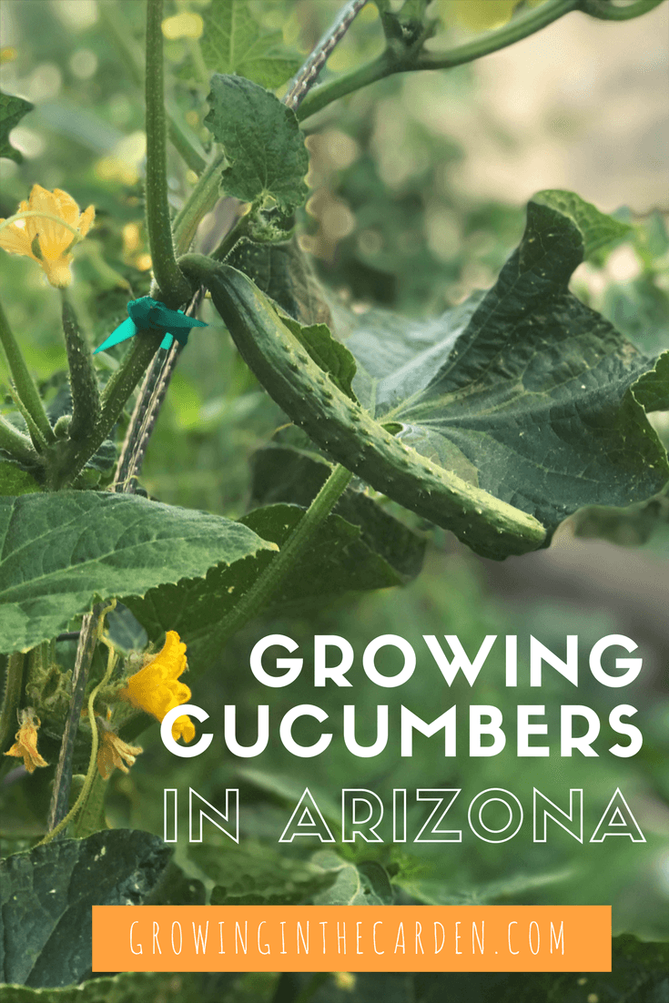 How to grow cucumbers in Arizona