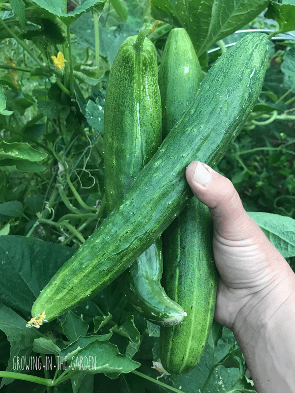 Grow cucumbers in Arizona