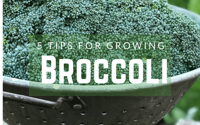 How to Grow Broccoli- Five Tips for Growing broccoli- #broccoli #gardening #howtogrow