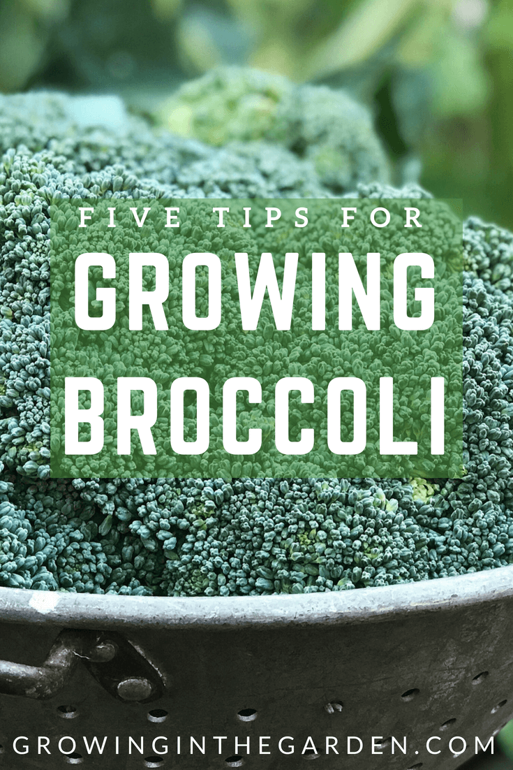 How to Grow Broccoli- Five Tips for Growing broccoli- #broccoli #gardening #howtogrow