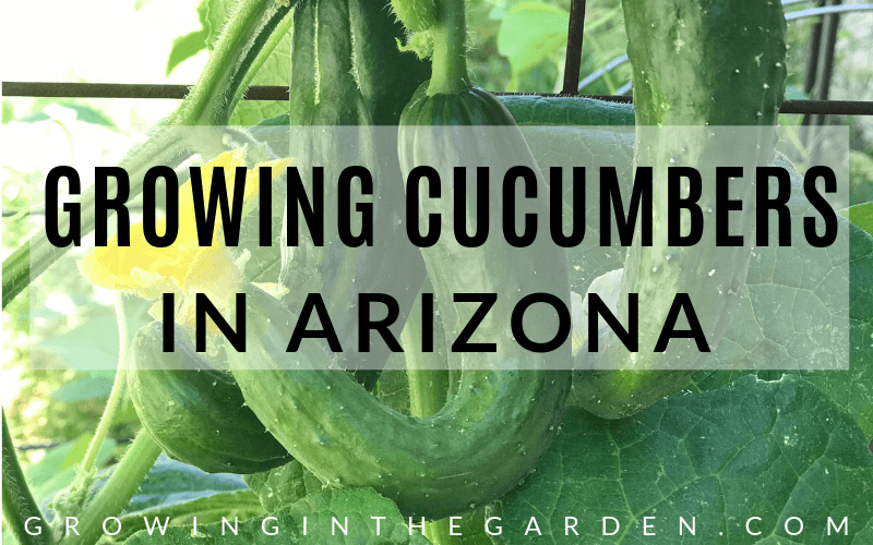How to grow cucumbers in Arizona