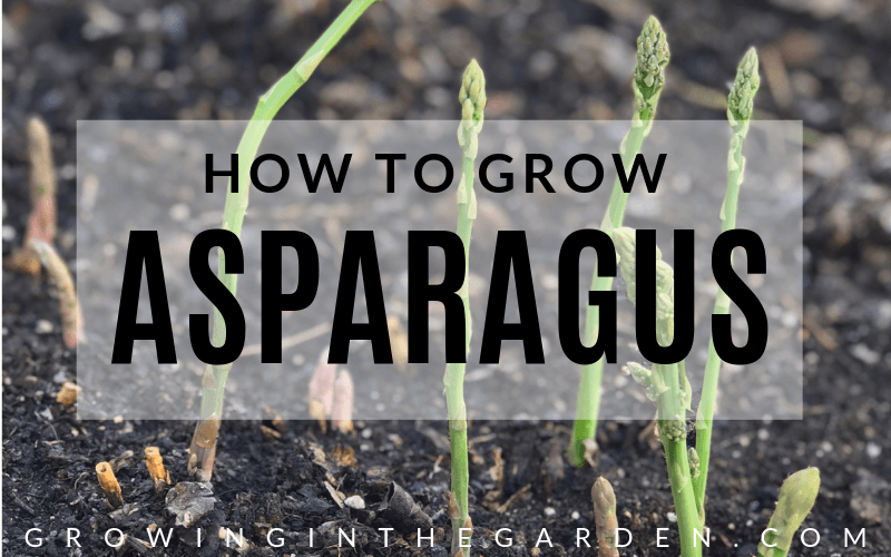 Six Things to Know Before You Plant Asparagus