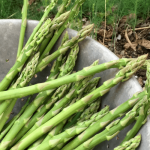 Learn More About Growing Asparagus