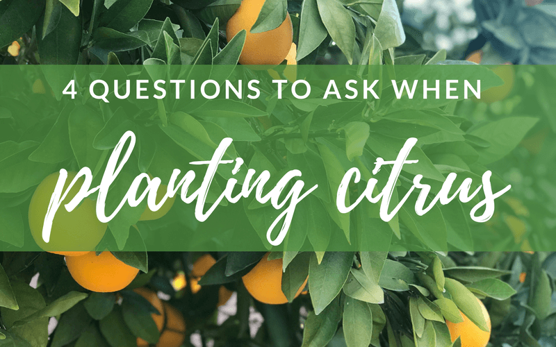 4 questions to ask when planting citrus