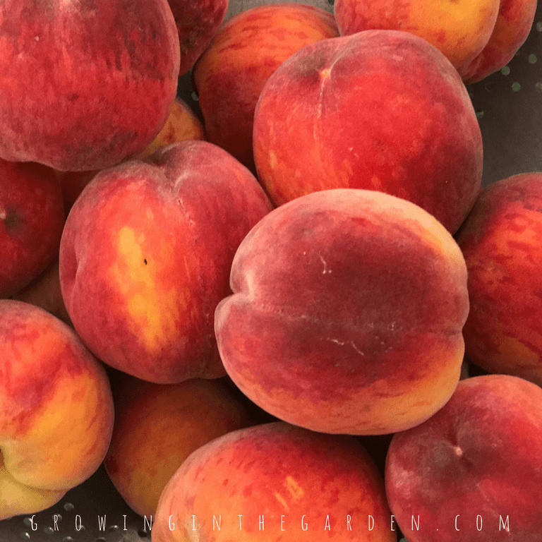 Peach trees should be thinned to produce the best quality fruit