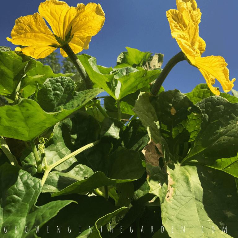 Female Luffa Flowers, Growing Luffa in the Garden How to grow luffa sponges #luffaseeds#lifecycle#howtogrowluffa#luffa#loofah#howtogarden#gardening#growingluffa#howto