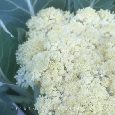 What's wrong with my Cauliflower? #cauliflower #howtogrowcauliflower #gardening #howto