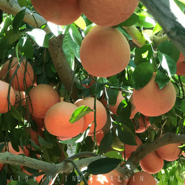 Citrus Trees often Self-Thin