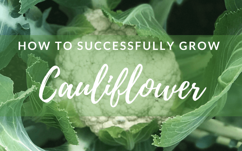 How to successfully grow cauliflower