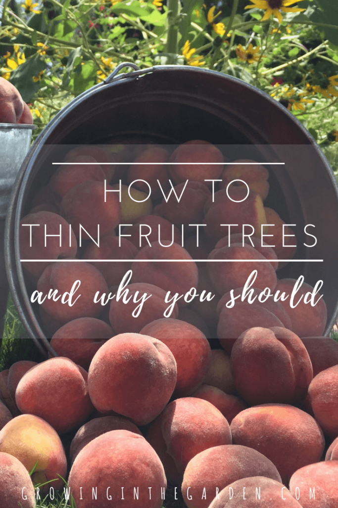 How to Thin Fruit Trees and Why You Should