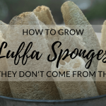 Growing Luffa in the Garden