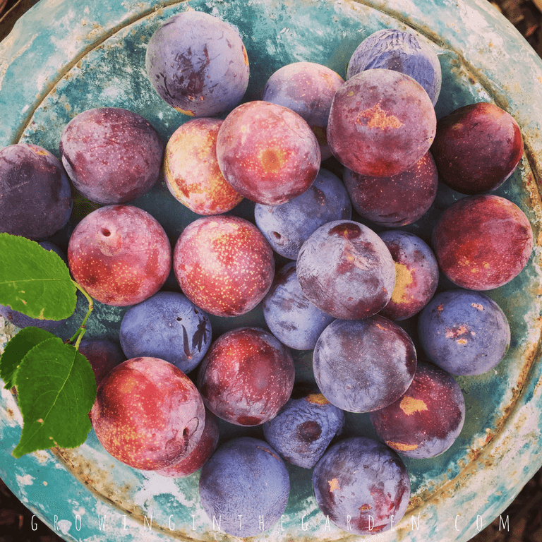Plum trees should be thinned to produce the highest quality fruit.