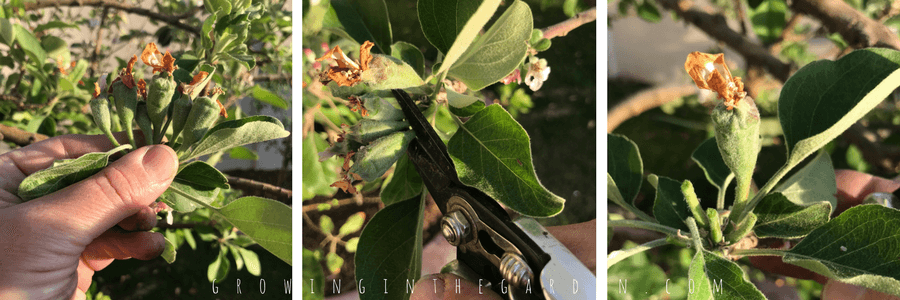 Thin apple clusters to 1-2 fruit per cluster.How to Thin Fruit Trees and Why You Should #fruittrees#howtogarden#howtogrowfruittrees#gardening##garden#thinningfruit
