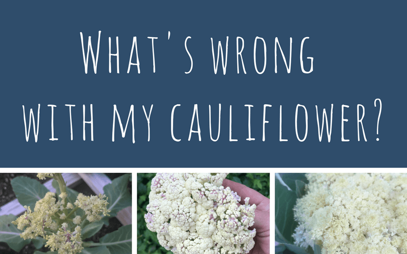 What's wrong with my cauliflower?