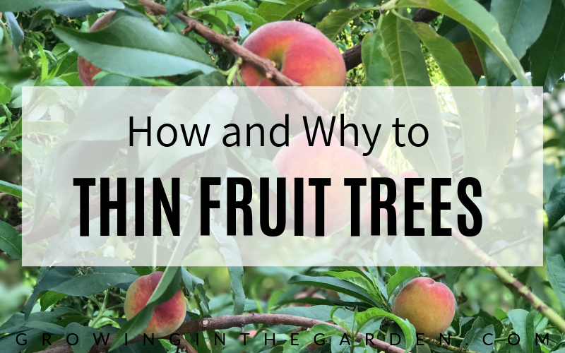 How to Thin Fruit Trees and Why You Should #fruittrees#howtogarden#howtogrowfruittrees#gardening#peachtrees#peaches#garden#thinningfruit