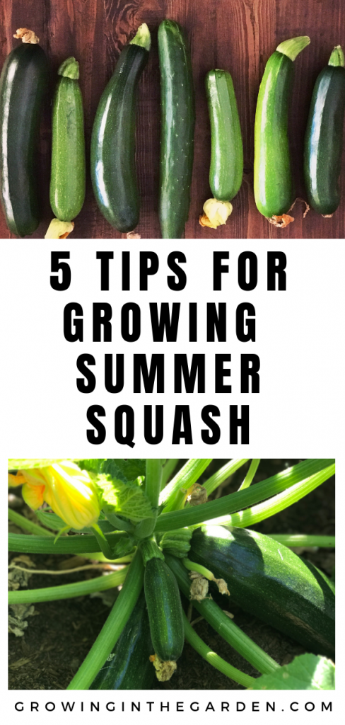 5 Tips for Growing Summer Squash #summersquash #gardening#summergarden#howtogarden#howtogrowsquash#growingsquash#growingsummersquash