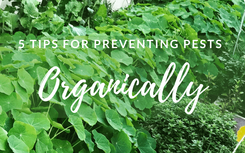 prevent garden pests organically 5 Ways to Prevent Pests Organically #organicgarden#gardenorganically#preventpests#gardening#gardenpests#howtogarden#howto#gardening#companionplanting#pestprevention