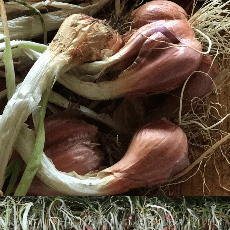 Iitoi Onions