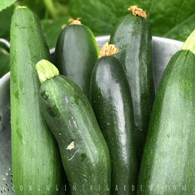 5 Tips for Growing Summer Squash