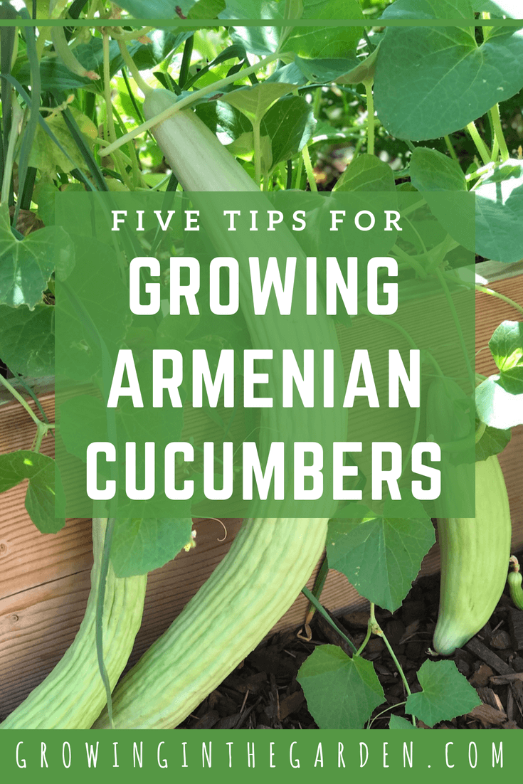 5 Tips for growing Armenian Cucumbers in the Garden. With the high temperatures of summer, most cucumbers are a fond memory except for Armenian cucumbers (which are still going strong).#gardening #armeniancucumbers #howtogarden #cucumbers #howtogrow #heatlovingveggies #arizonagardening #growinginthegarden