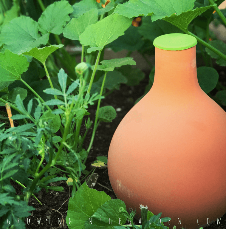 Olla in Arizona Summer GardenSummer Gardening in Arizona,Ultimate Guide for a Summer Garden in Arizona #summergarden #arizona #gardening #desertgardening