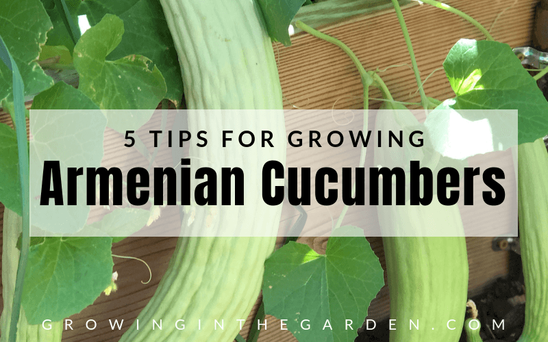 5 Tips for growing Armenian Cucumbers in the Garden. With the high temperatures of summer, most cucumbers are a fond memory except for Armenian cucumbers (which are still going strong).#gardening #armeniancucumbers #howtogarden #cucumbers #howtogrow #heatlovingveggies #growinginthegarden