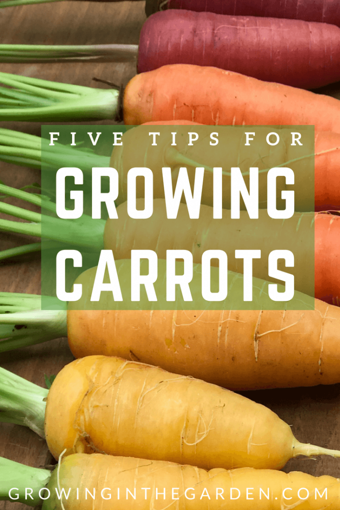 How to Grow Carrots - Five Tips for Growing Carrots - #carrots #gardening #howtogrow