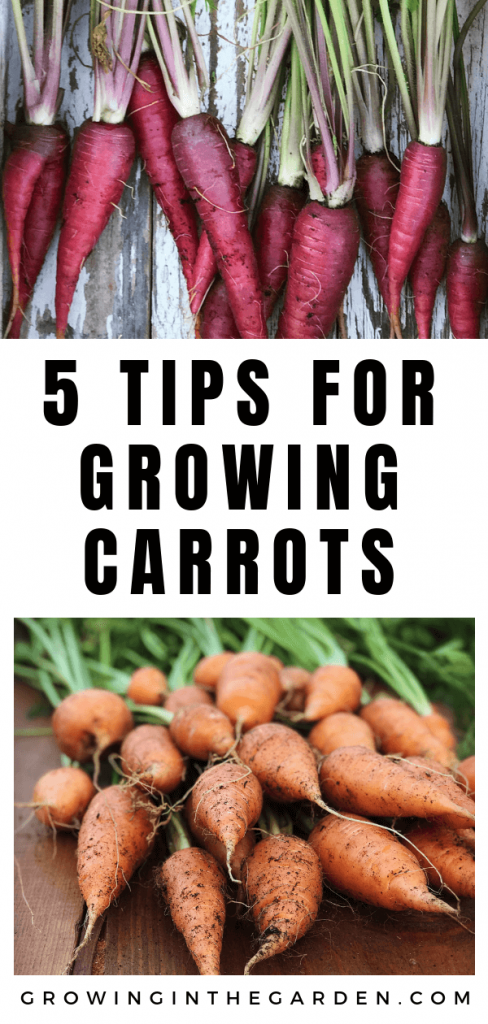 5 tips for growing carrots in Arizona