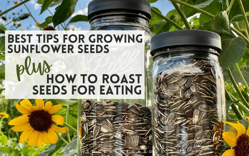 How to grow edible sunflower seeds
