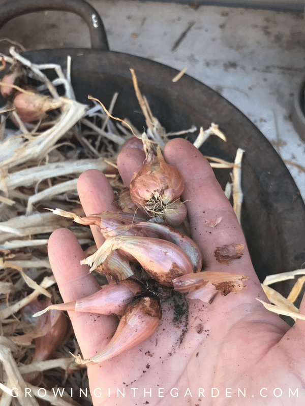 How to Grow I'itoi Onions #howtogrowonions #iitoionion #gardening #heirloomvegetable