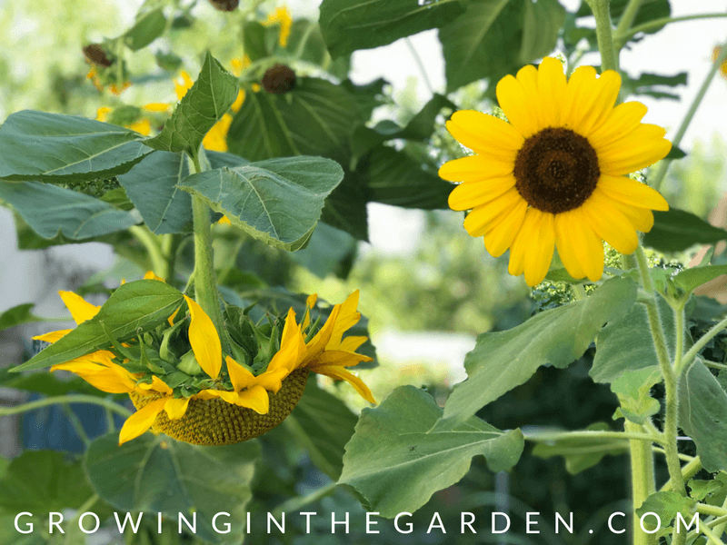 How to grow sunflowers #sunflowers #gardening #howtogrowsunflowers
