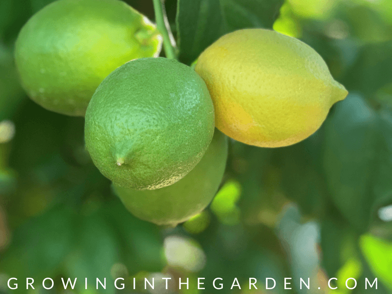 Arizona Garden in August #arizonagardening #arizonagarden #augustgarden #gardening #gardenlist