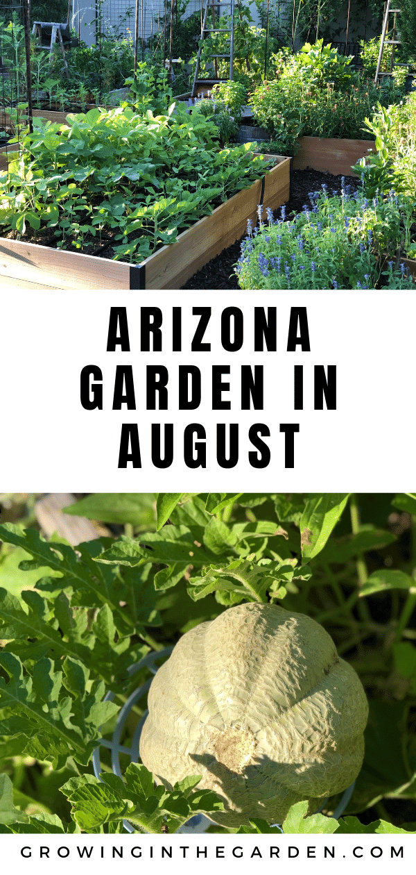 Arizona garden in August #arizonagarden #arizonagardenguide