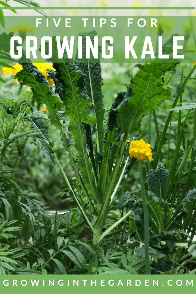 How to Grow Kale- Five Tips for Growing kale- #kale #gardening #howtogrow