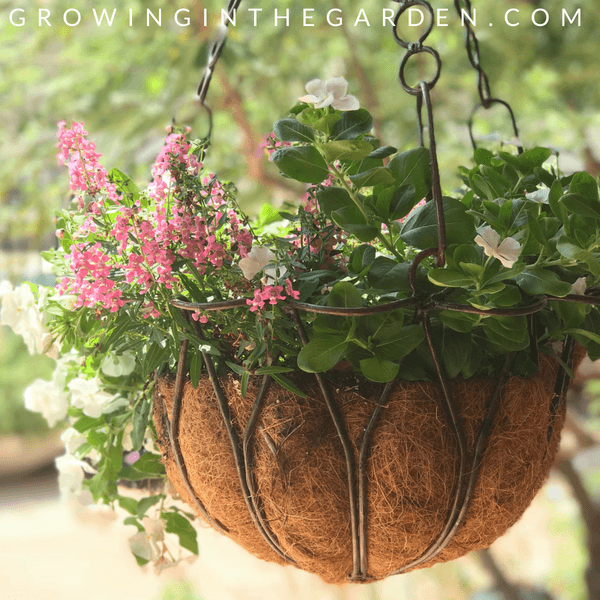 The best way to water outdoor potted plants #containergardening #watering #containergarden #olla #growoya
