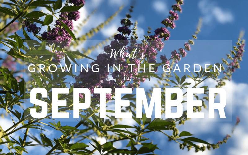 Arizona Garden in September #gardening #garden #arizonagarden
