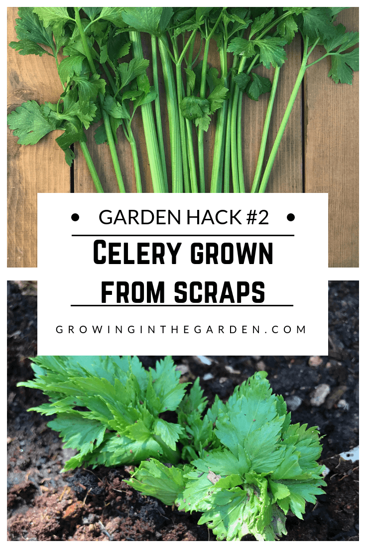 Gardening Hacks_ 9 Simple Tips for the Garden #gardenhack #gardentips #howtogarden Celery grown from scraps