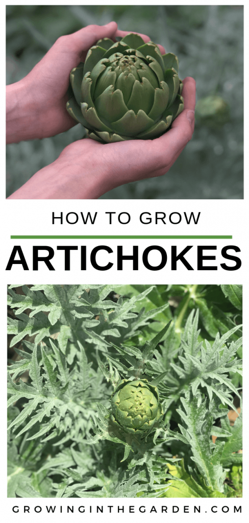 How to grow artichokes - 5 tips for growing artichokes #gardening #artichoke #arizonagardening