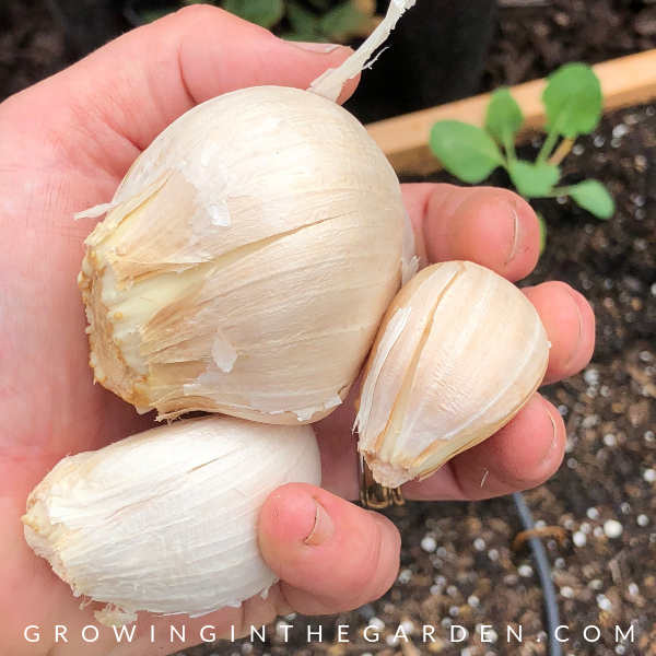 How to grow garlic in Arizona - growing garlic in Arizona - Elephant Garlic #elephantgarlic #arizonagardening #garlic #garden #howtogarden