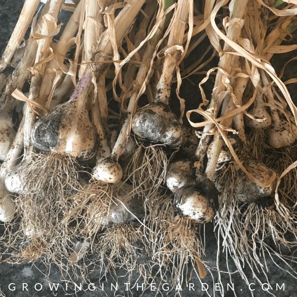 How to grow garlic in Arizona - growing garlic in Arizona - #arizonagardening #garlic #garden #howtogarden