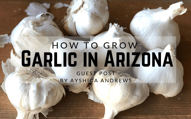 How to grow garlic in Arizona - growing garlic in Arizona - #arizonagardening #garlic #garden #howtogarden