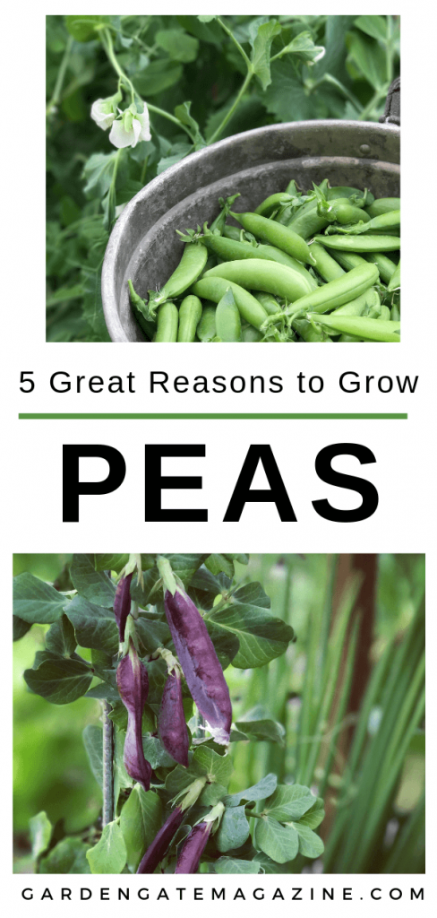 5 Reasons to Grow Peas
