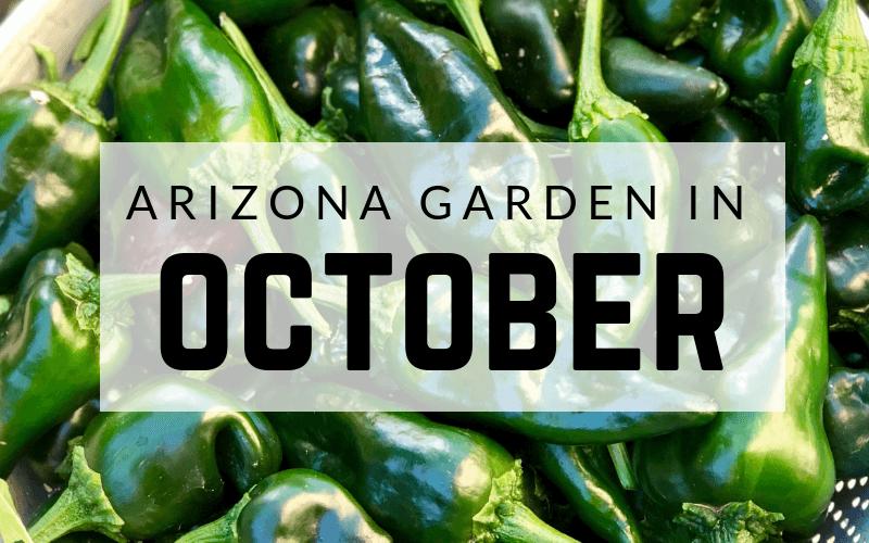 Arizona Garden in October #gardening #garden #arizonagarden #octobergarden #gardeninginarizona #desertgarden