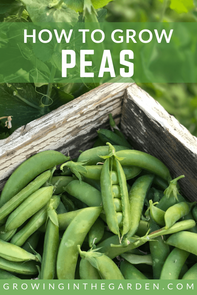 Peas: Planting, Growing and Harvesting Peas - How to grow peas #peas #gardening #growingpeas