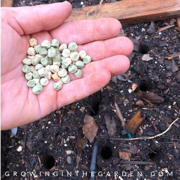 Peas: Planting, Growing and Harvesting Peas - How to grow peas #peas #gardening #growingpeas