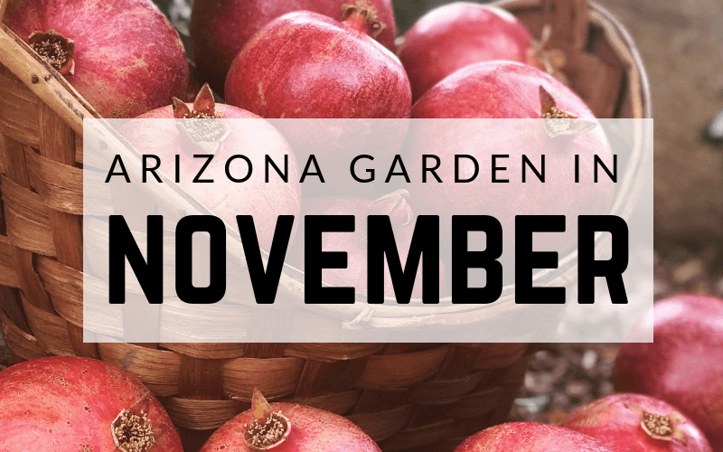 Arizona Garden in November #gardening #garden #arizonagarden #novembergarden #gardeninginarizona #desertgarden